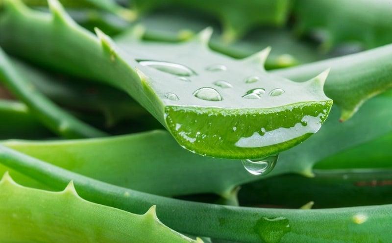 Où trouver de l'aloe vera en plante